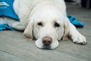 【筆記】 犬貓近期關節炎 Tramadol止痛的研究整理